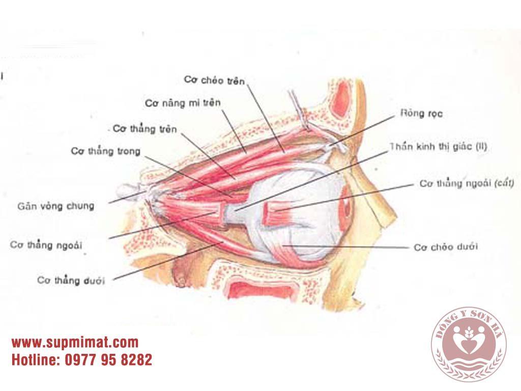 [Giải phẫu] - Cơ vận động nhãn cầu và mi mắt 2