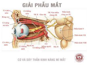 [Giải phẫu] - Cơ vận động nhãn cầu và mi mắt 1