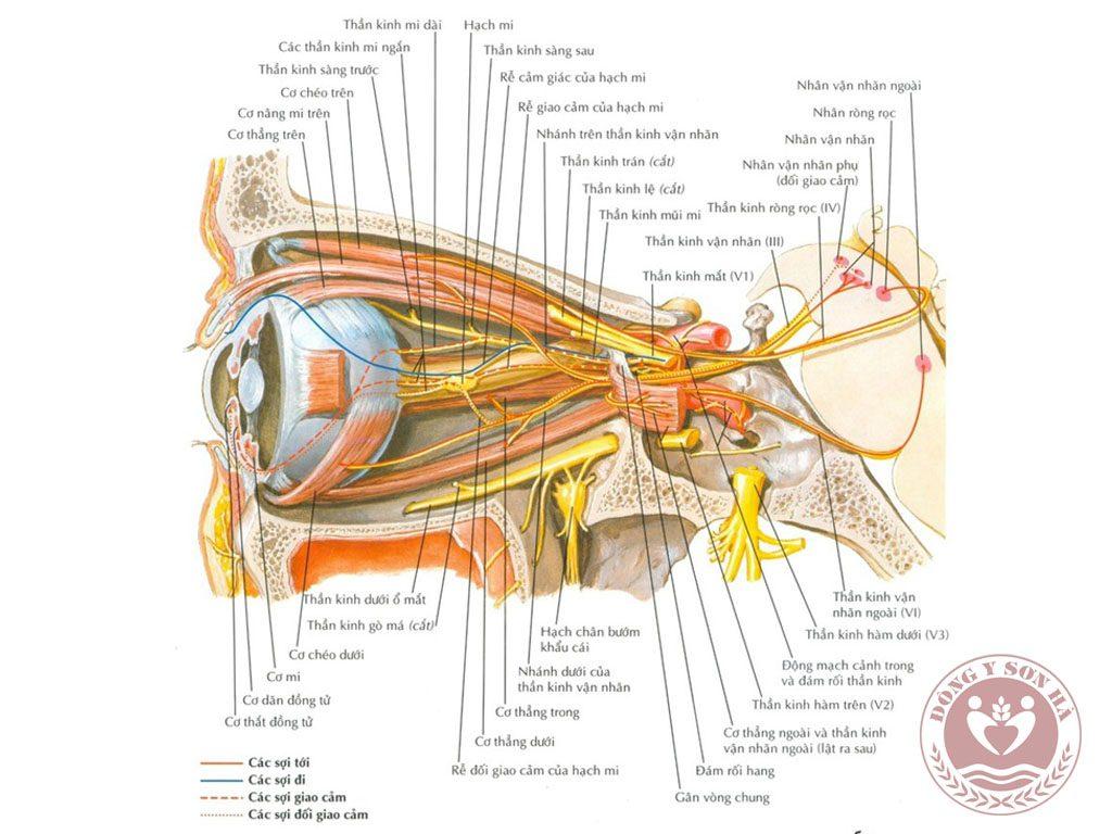 Giải phẫu cơ vận động nhãn cầu và mi mắt