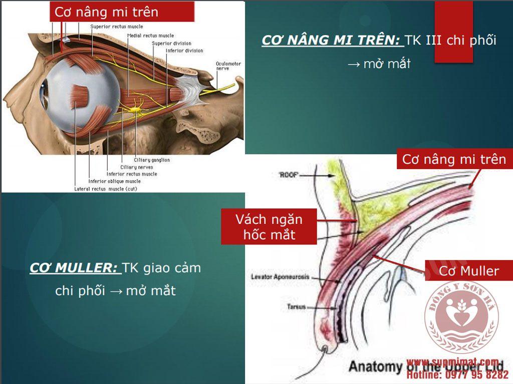 [Giải phẫu] - Cơ vận động nhãn cầu và mi mắt 3