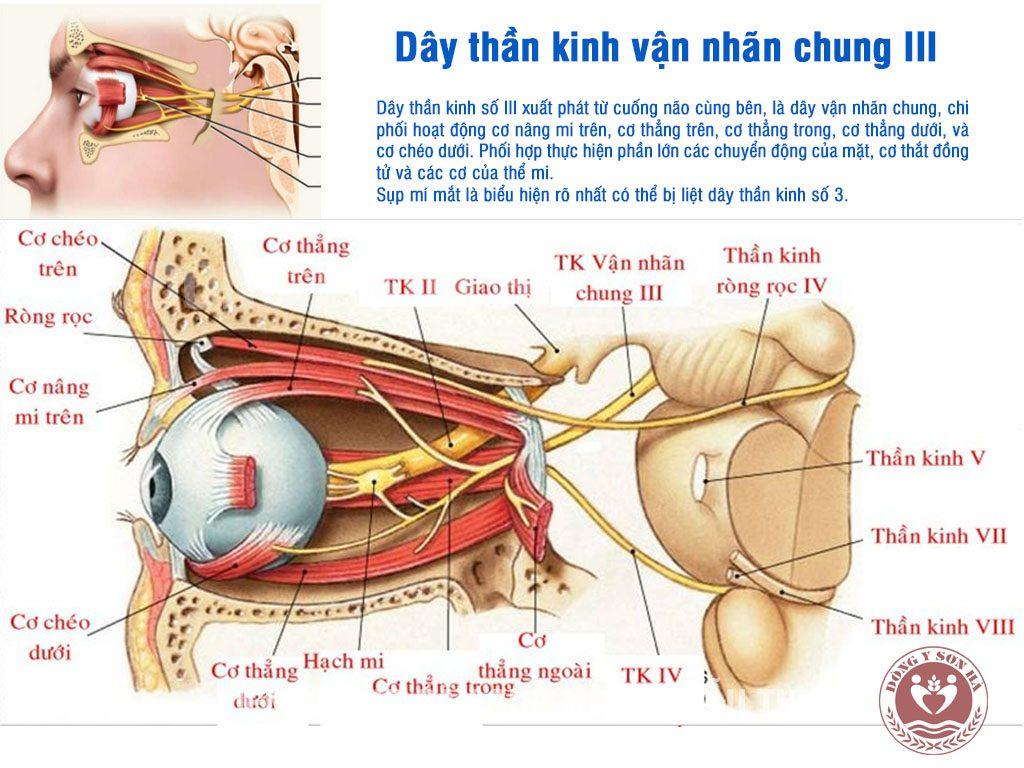 Dây thần kinh vận nhãn chung - Dây thần kinh sọ III