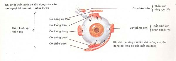 Sụp mí mắt do liệt thần kinh 3 chữa khỏi hoàn toàn mất bao lâu 2