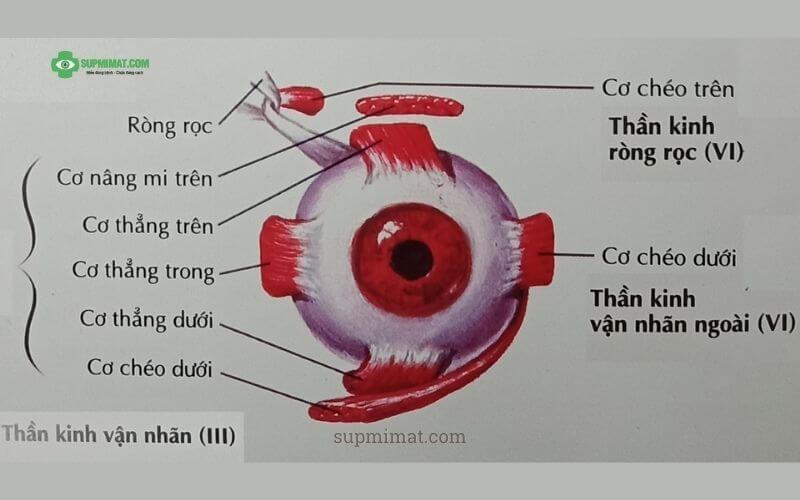 Giải phẫu chức năng dây thần kinh số 3
